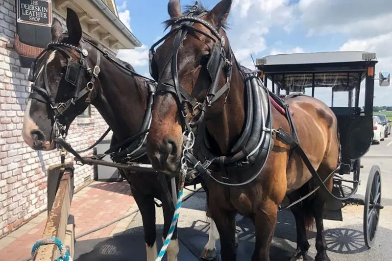 AAA Buggy Rides Horse